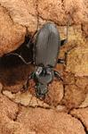 Pterostichus melanarius